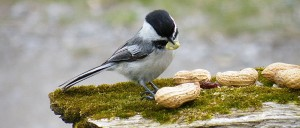 Souncs of the Season -- a chickadee eating peanuts