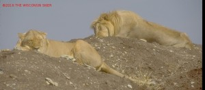 Two lions sleeping -- I saw this in person in the Serengeti not on TV  -- Project A Squared