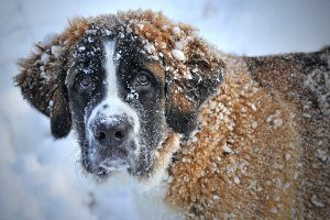 the patron saint of skiers -- snow covered st. bernard dog
