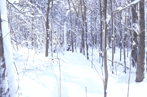 XC-Skiing Through the Woods