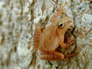A New Road -- A spring peeper